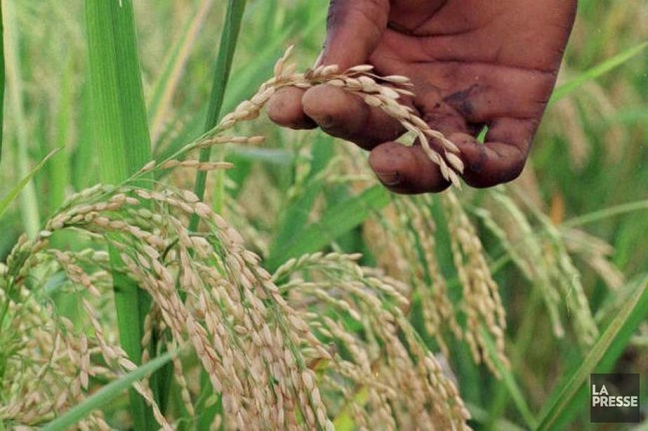 Costa Rica suspende el seguro para cultivo de arroz
